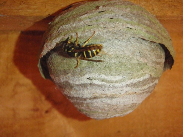 Wasp Nest in the Loft